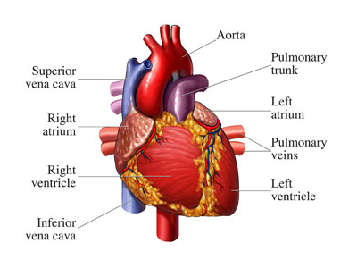 Picture of a heart with the names of the different arteries
